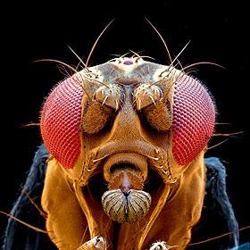 drosophila-kopf-140x.jpg
